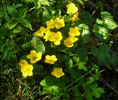 kingcup or marsh marigold Caltha palustris